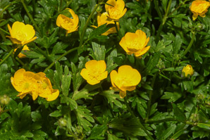 Ranunculus repens (Creeping Buttercup)