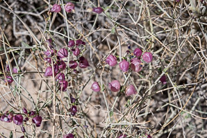 Salazaria mexicana (Paperbag Bush, Bladder Sage)