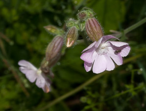 Silene latifolia (Bladder Campion)