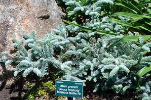 Abies procera (prostrate noble fir)