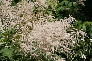 Aruncus dioicus (Child of Two Worlds Goat's Beard)
