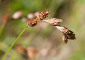 Carex scoparia (pointed broom sedge)