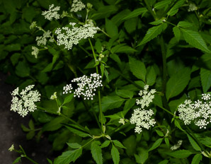 Cicuta maculata (Water Hemlock, Spotted Water Hemlock, Spotted Parsley)