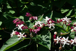 Clerodendrum trichotomum (Harlequin Glorybower, Peanut Butter Tree)