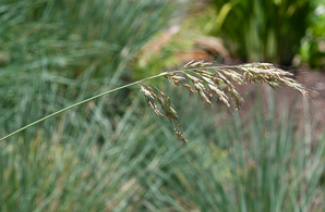 Helictotrichon sempervirens (Blue Oat Grass)