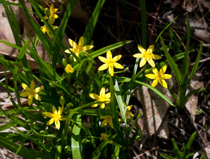 Hypoxis hirsuta (star grass)