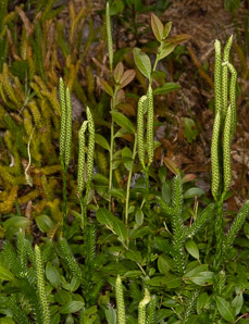 Lycopodium clavatum (common clubmoss)