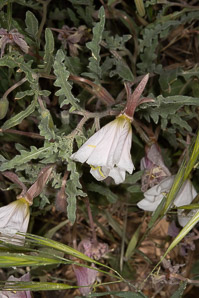 Oenothera californica (California Evening Primrose)