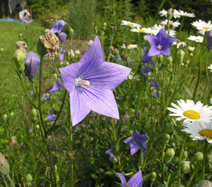 Platycodon grandiflorus (Balloon Flower, Chinese Bellflower, Japanese Bellflower)