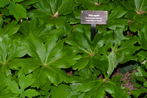 Podophyllum peltatum (Mayapple, Mandrake Root, American Mandrake, Raccoon Berry, Wild Lemon, Indian Apple, Duck's Foot, Hog Apple, Umbrella Plant, Ground Lemon)
