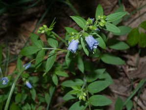 Polemonium reptans (Spreading Jacob's Ladder, Creeping Jacob's Ladder)