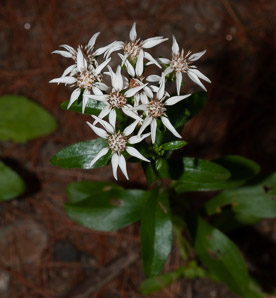 Sericocarpus asteroides (Toothed White-topped Aster)