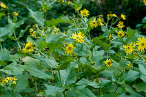 Silphium perfoliatum (Cup Plant, Indian Cup, Ragged Cup, Carpenter Weed)
