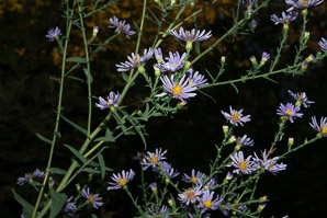 Symphyotrichum laeve (smooth blue aster, smooth blue American-aster)
