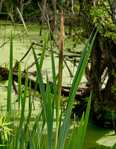 Typha latifolia (Common Cattail, Bulrush, Common Bulrush, Broadleaf Cattail, Great Reedmace, Cooper's Reed, Cumbungi)