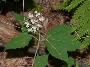 Viburnum acerifolium (Maple-leaved Viburnum, Maple-leaf viburnum, Arrow-wood, Maple-leaf Arrow-wood)