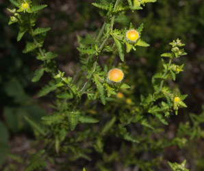 Aureolaria pedicularia (Fernleaf Yellow False Foxglove, Northern Oak-leach)