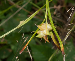 Carex intumescens (Bladder Sedge, Greater Bladder Sedge, Shining Bur Sedge, Swollen Sedge)
