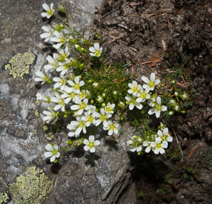 Diapensia lapponica (Diapensia, Pincushion Plant)