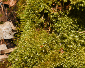 Dicranum scoparium (Windswept Moss, Broom Forkmoss)