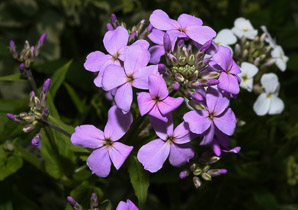 Hesperis matronalis (Dame's Rocket, Dame's Violet, Mother of the Evening, Dames Rocket)