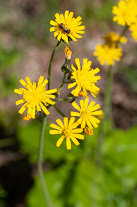 Hieracium caespitosum (Field Hawkweed, Yellow Hawkweed, Meadow Hawkweed, King Devil, Yellow Paintbrush, Devil's Paintbrush, Yellow Devil, Yellow Fox-and-cubs, Yellow King-devil)
