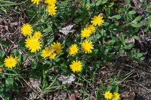 Hieracium pilosella (Mouse Ear, Mouse Ear Hawkweed, Mouseear Hawkweed, Mouse-ear Hawkweed)