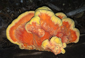 Laetiporus sulphureus (sulphur shelf, chicken of the woods, chicken mushroom, chicken fungus)