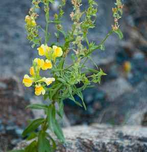 Linaria vulgaris (Butter and Eggs, Common Toadflax, Yellow Toadflax)