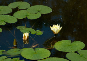 Nymphaeaceae (Water Lily)