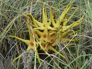 Orbea lutea (yellow carrion flower)