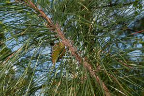 Pinus taeda (Loblolly Pine, North Carolina pine, Oldfield Pine, Bull Pine, Rosemary Pine)