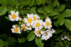 Rosa multiflora (Multiflora Rose, Rambling Rose, Baby Rose, Japanese Rose, Many-flowered Rose, Seven-sisters Rose)