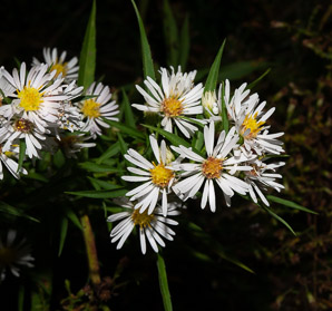 Symphyotrichum lanceolatum (Panicled Aster, Eastern Lined Aster, Tall White Aster, Lance-leaf Aster, Narrow-leaf Michaelmas Daisy, White-panicle Aster)