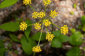 Zizia aptera (Heart-leaved Golden Alexanders, Meadow Zizia)