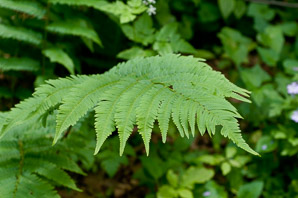 Dryopteris clintoniana (Wood Fern)