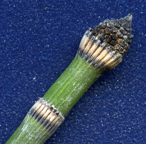 Equisetum hyemale (rough horsetail, common scouring rush)