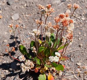 Eriogonum heracleoides (parsnipflower buckwheat, whorled buckwheat, wyeth buckwheat)