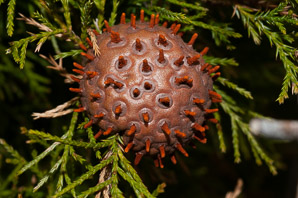 Gymnosporangium juniperi-virginianae (Cedar Apple Rust, American Apple Rust)