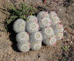 Mammillaria parkinsonii (Owl's Eye Pincushion, Owl's Eye)
