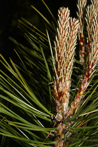 Pinus resinosa (Red Pine)