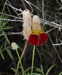 Ratibida columnifera (Upright Prairie Coneflower, Mexican Hat)