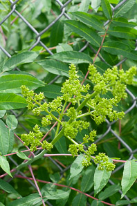 Rhus typhina (Staghorn Sumac)