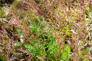 Rumex acetosella (red sorrel, sheep sorrel, sour weed, field sorrel)