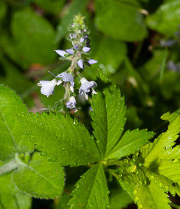 Veronica officinalis (Common Speedwell)