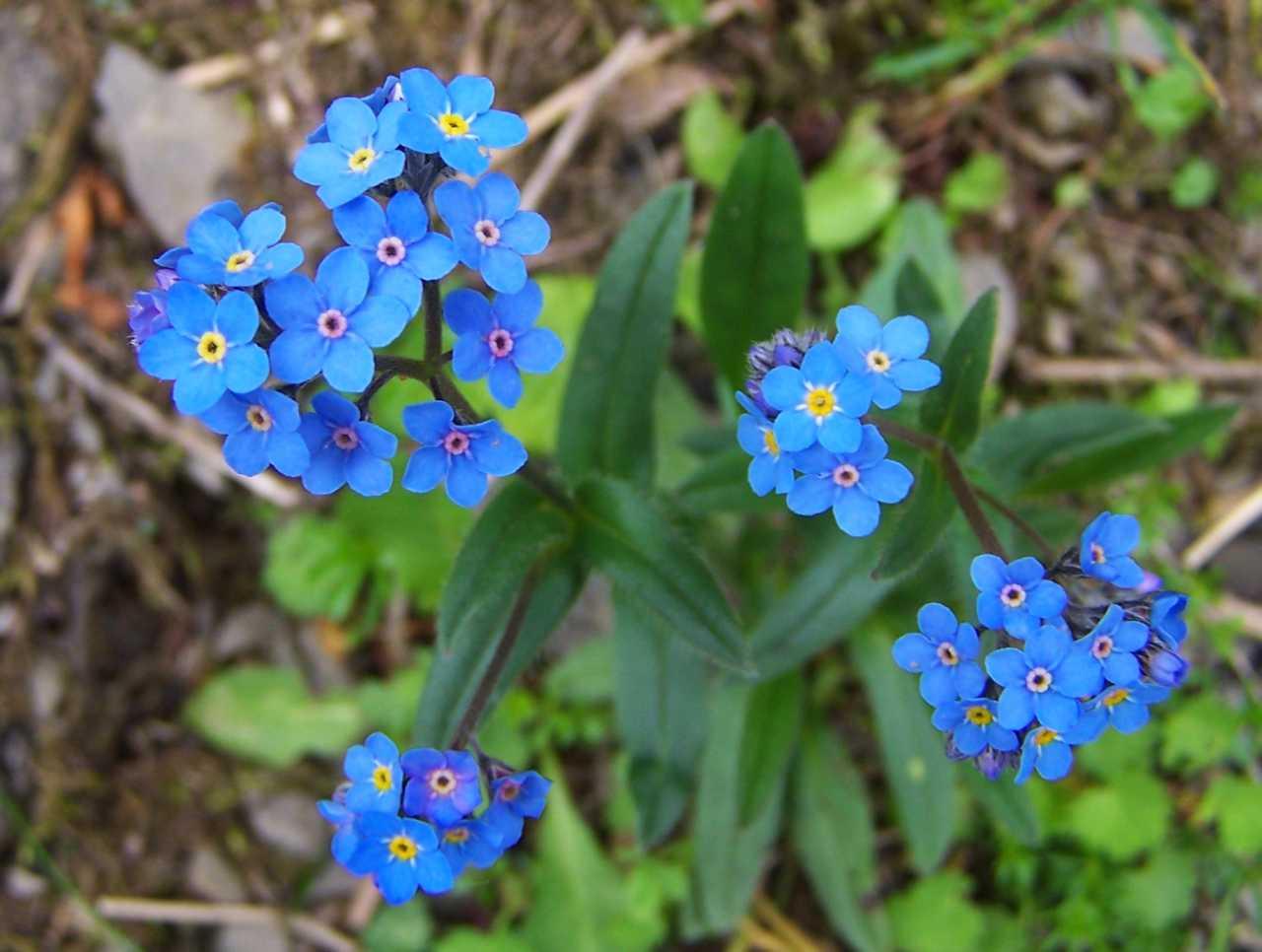 Myosotis - Forget-Me-Not – Calgary Plants Online Garden Centre